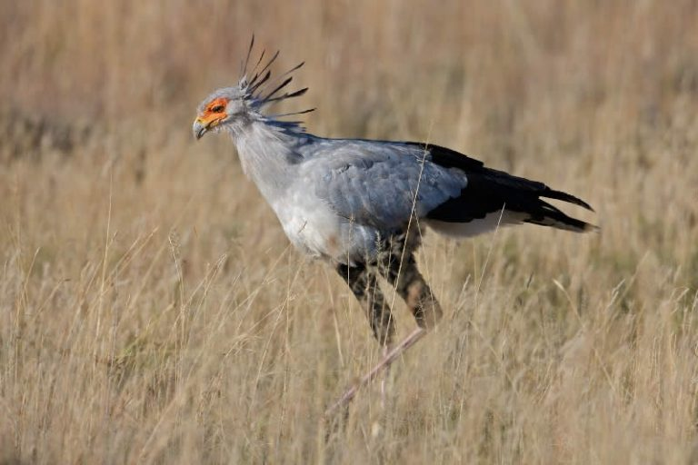 Secretarybird at Ganora Guestfarm, Nieu Bethesda