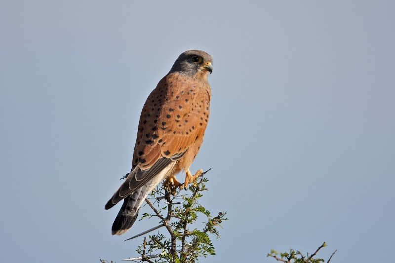 Rock Kestrel at Ganora Guestfarm