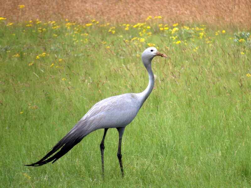 Blue_crane at Ganora Guestfarm