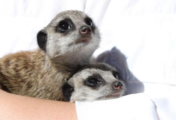 Meerkat Rehailitation 2