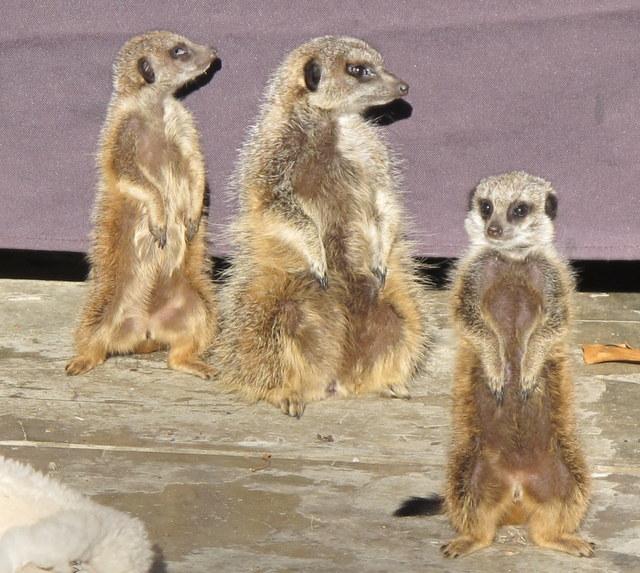 Meerkat Rehabilitation at Ganora Guestfarm 1
