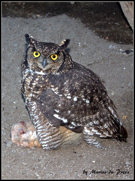 Spotted Eagle-Owl at Ganora Guestfarm