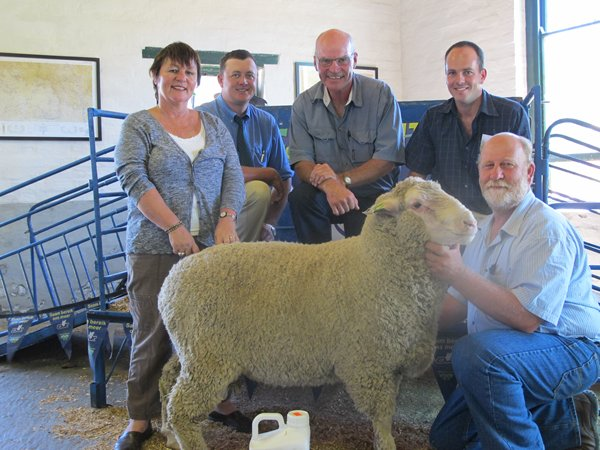 Sheep Rams at Ganora Guestfarm