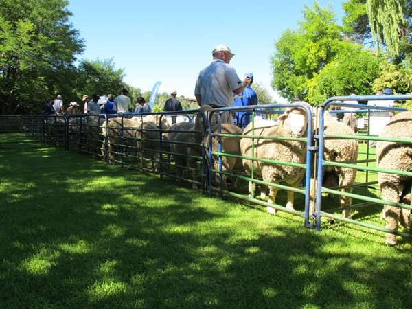 Dohne Merino Farm Sale 2