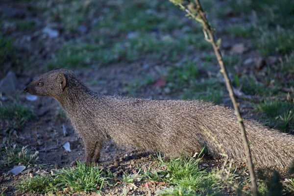Water Mongoose Rehabilitation at Ganora Guestfarm, Nieu Bethesda