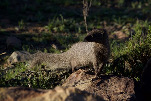 Rehabilition of a Mongoose at Ganorra Guestfarm, Nieu Bethesda