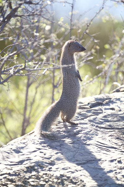 Mongoose rehabilitation at Ganora Guestfarm, Nieu Bethesda