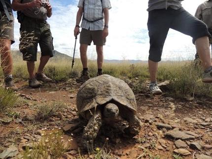 Tortoise at Ganora Guestfarm, Nieu Bethesda