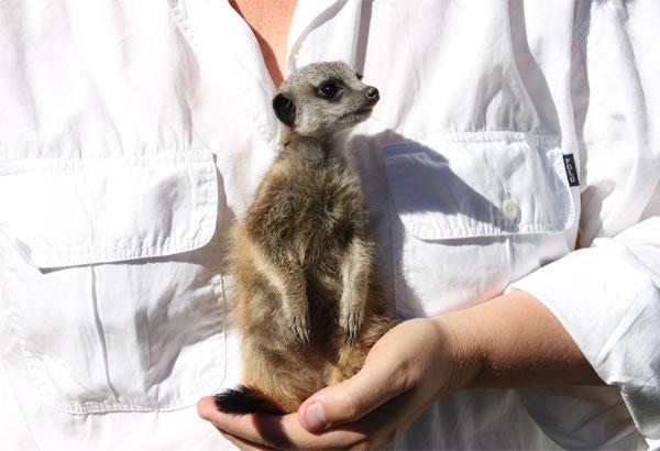 Meerkat Rehabilitation