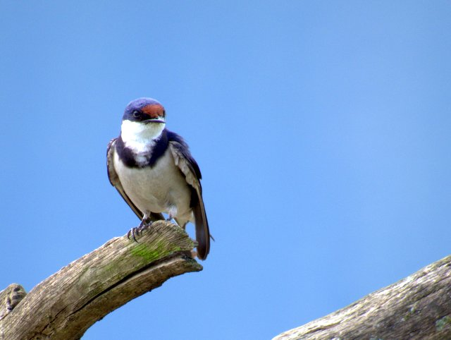 White-throated Swallow at Ganora Guestfarm, Nieu Bethesda