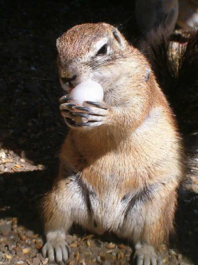 Chippie the Squirrel